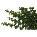 Eukaliptus (12 szt.)